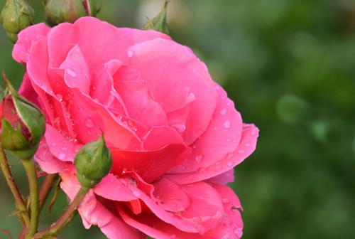 róża 1